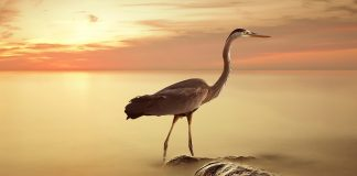 Herons Wallpapers.jpg