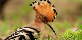 Hoopoes Wallpapers.jpg