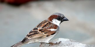 House Sparrow Wallpapers.jpg
