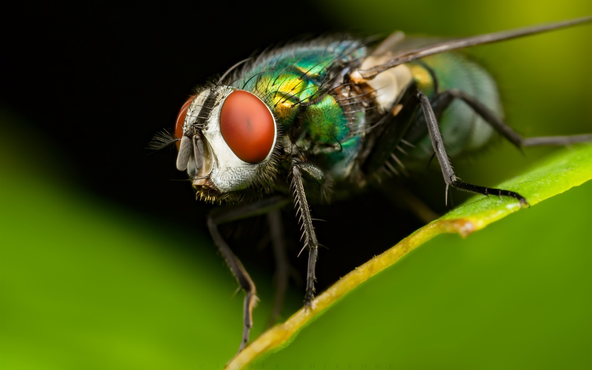 Wallpapers Insect housefly macro photography, green leaf
