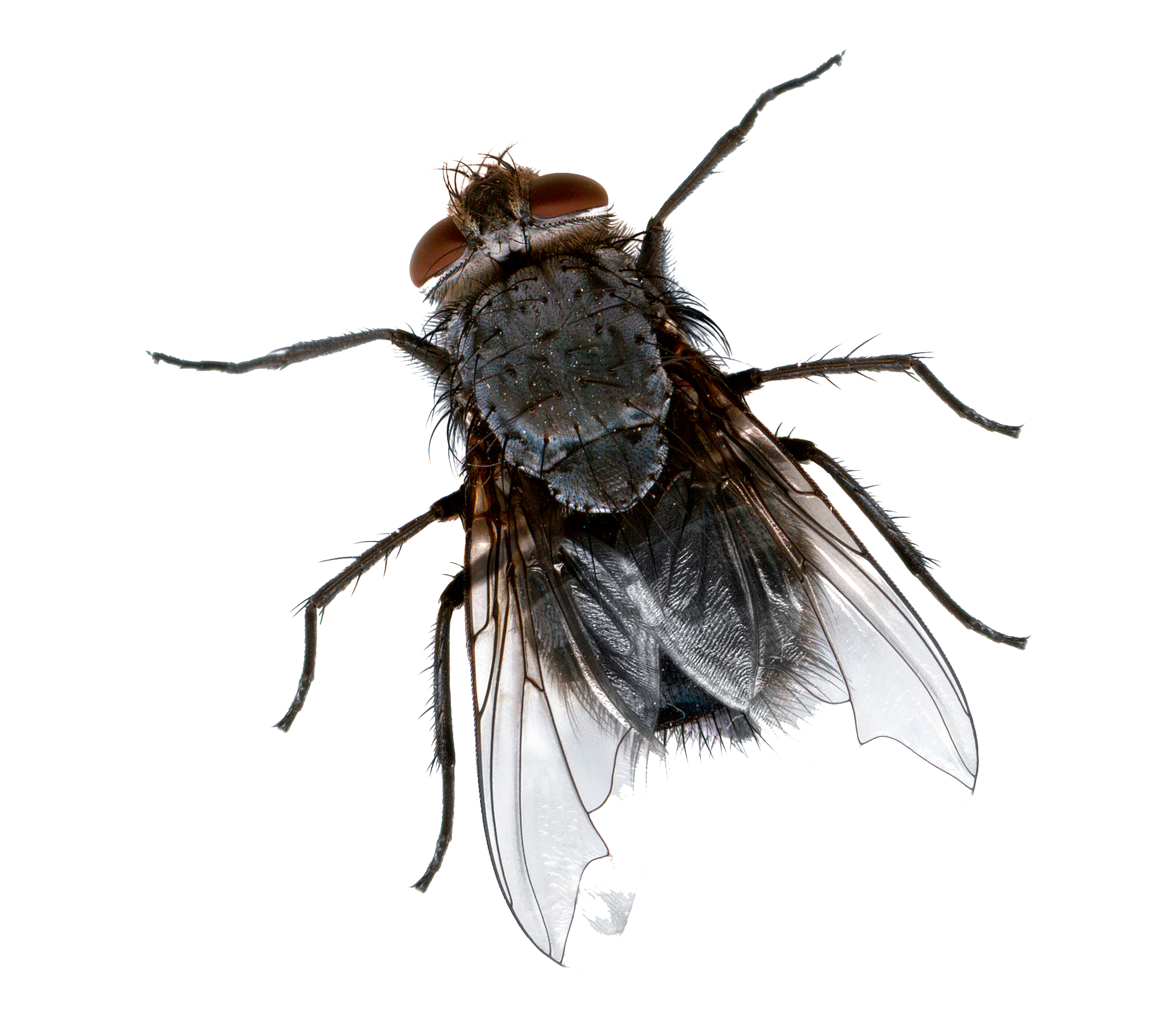 Dead fly png, Picture house fly png