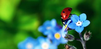 Ladybird Beetle Wallpapers.jpg
