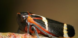 Leafhoppers Wallpapers.jpg