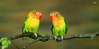 Lovebirds Wallpapers.jpg