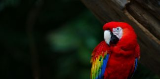 Macaw Wallpapers.jpg