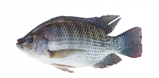 Nile Tilapia Wallpapers.png