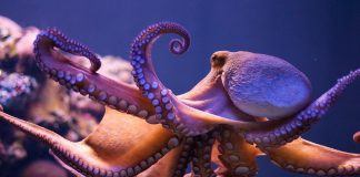 Octopus Wallpapers.jpg
