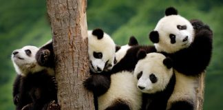 Panda Bear Wallpapers Wallpaper Cave.jpg