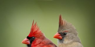 Pied Northern Cardinal Wallpapers.jpg