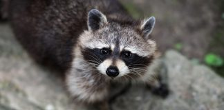 Raccoons Wallpapers.jpg
