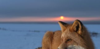 Red Fox Wallpapers Wallpaper Cave.jpg