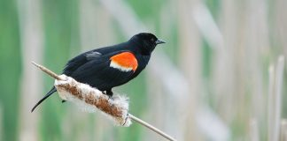 Red Winged Blackbird Wallpapers.jpg
