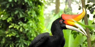 Rhinoceros Hornbill Wallpapers.jpg