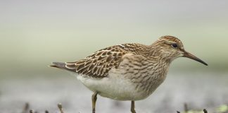 Sandpiper Wallpapers.jpg