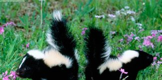 Skunks Wallpapers.jpg