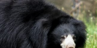 Sloth Bear Wallpapers.jpg