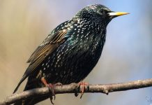 Starling Wallpapers.jpg