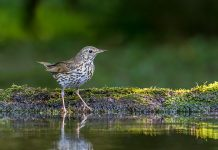 Thrushes Wallpapers.jpg
