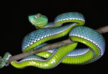 Vogels Pit Viper Trimeresurus Vogeli Wallpapers.jpg