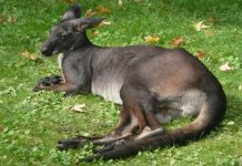 Wallaroos Wallpapers.jpg