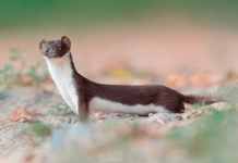 Weasels Wallpapers.png