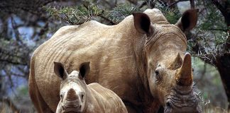 White Rhinoceros Wallpapers.jpg