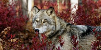 Wolf Wallpapers Hd Wallpaper Cave.jpg