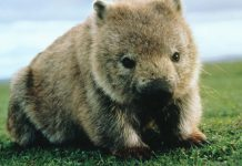 Wombats Wallpapers.jpg