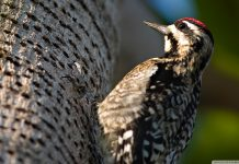 Woodpecker Wallpapers.jpg