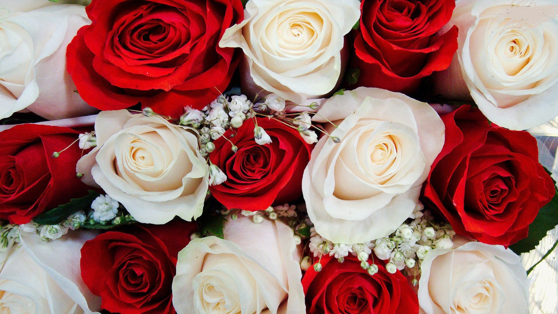 Red and White Roses Wallpapers on WallpaperDog